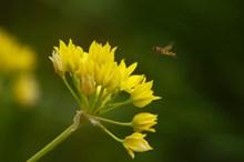 黄色石蒜花图片