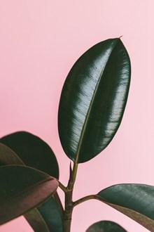 盆栽橡皮树高清图片