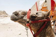 沙漠中骆驼头部特写图片下载