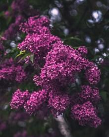 漂亮的紫色鲜花图片下载