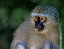 黑面长尾猴图片下载