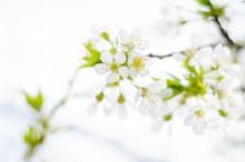 白色樱花ppt背景图片素材