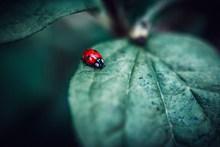 红色七星瓢虫高清图片