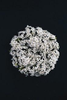 白色的花球精美图片