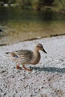 家养水鸭图片素材