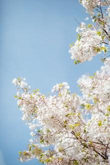 白色樱花唯美意境高清图片