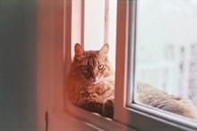 缅因猫宠物写真图片素材