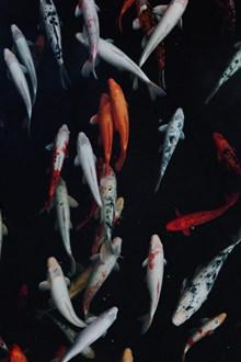 野生鲤鱼高清图片大全