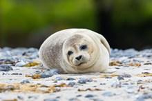 可爱白色海豹图片大全
