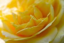 黄色玫瑰花局部特写高清图