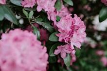 粉色漂亮杜鹃花高清图