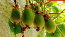 绿色猕猴桃水果图片大全