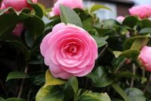 漂亮粉色茶花精美图片