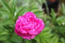 高清牡丹花朵图片下载
