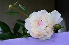 漂亮白色牡丹花朵图片素材
