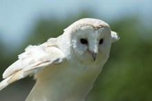 白色貓頭鷹圖片