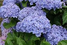 藍紫色繡球花高清圖