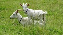 老山羊小山羊图片