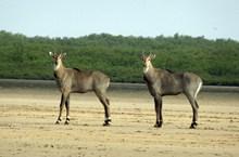 兩只羚羊高清圖片