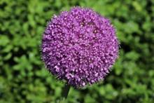 紫色洋蔥花球高清圖片