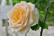 淡橙色玫瑰花朵圖片下載
