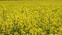 黃色油菜花背景高清圖片