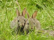 两只灰色小兔子精美图片