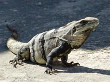 石蜥蜴精美图片