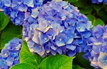 蓝色绣球花开花高清图
