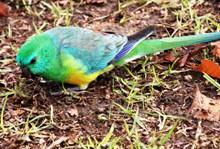 绿色鹦鹉觅食图片