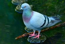 漂亮灰色鸽子图片下载