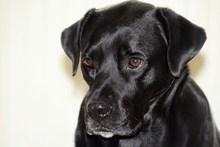 黑色宠物狗肖像精美图片