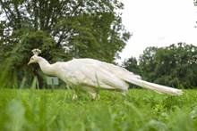 草地上白色孔雀图片素材