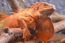 大只蜥蜴精美图片