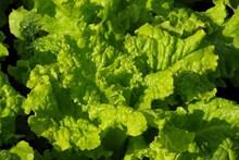 绿色嫩生菜高清图