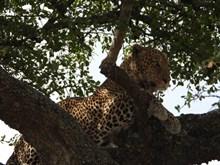 树上花豹图片素材