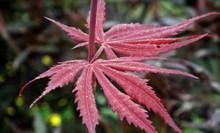 漂亮红枫叶图片下载