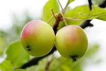 树上青苹果摄影图片下载