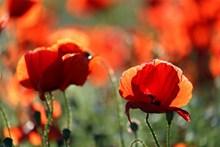 紅罌粟唯美攝影圖片下載