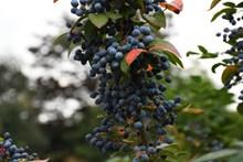 蓝色野生浆果图片大全