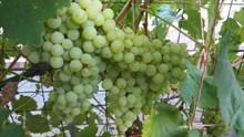 葡萄園成熟綠色葡萄圖片大全