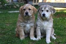 两只呆萌宠物狗高清图片