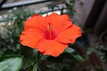 漂亮红色木槿花高清图片