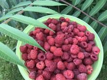 一盆野草莓圖片大全