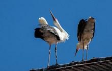 屋顶两只白鹤图片下载