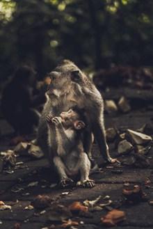 母猴带小猴图片下载