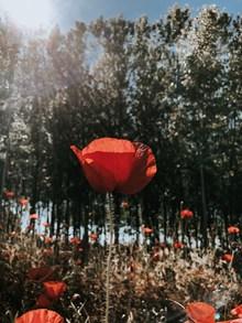 阳光下的罂粟花欣赏图片大全