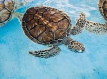 海底玳瑁海龜圖片大全