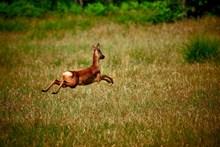 鹿跳躍的高清圖片