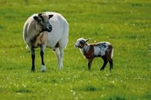 草地上两只绵羊高清图